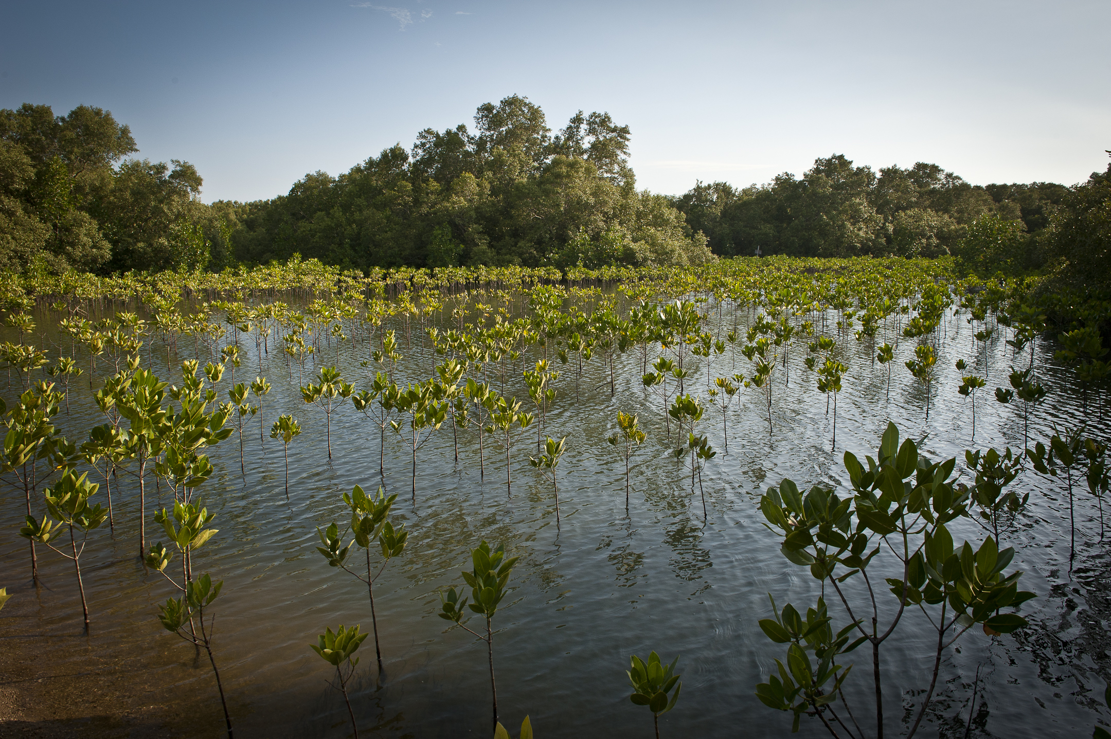 This mangrove forest is part of a Marine Protected Area in ...  This mangrove f...